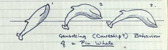 sketch of fin whale behaviour