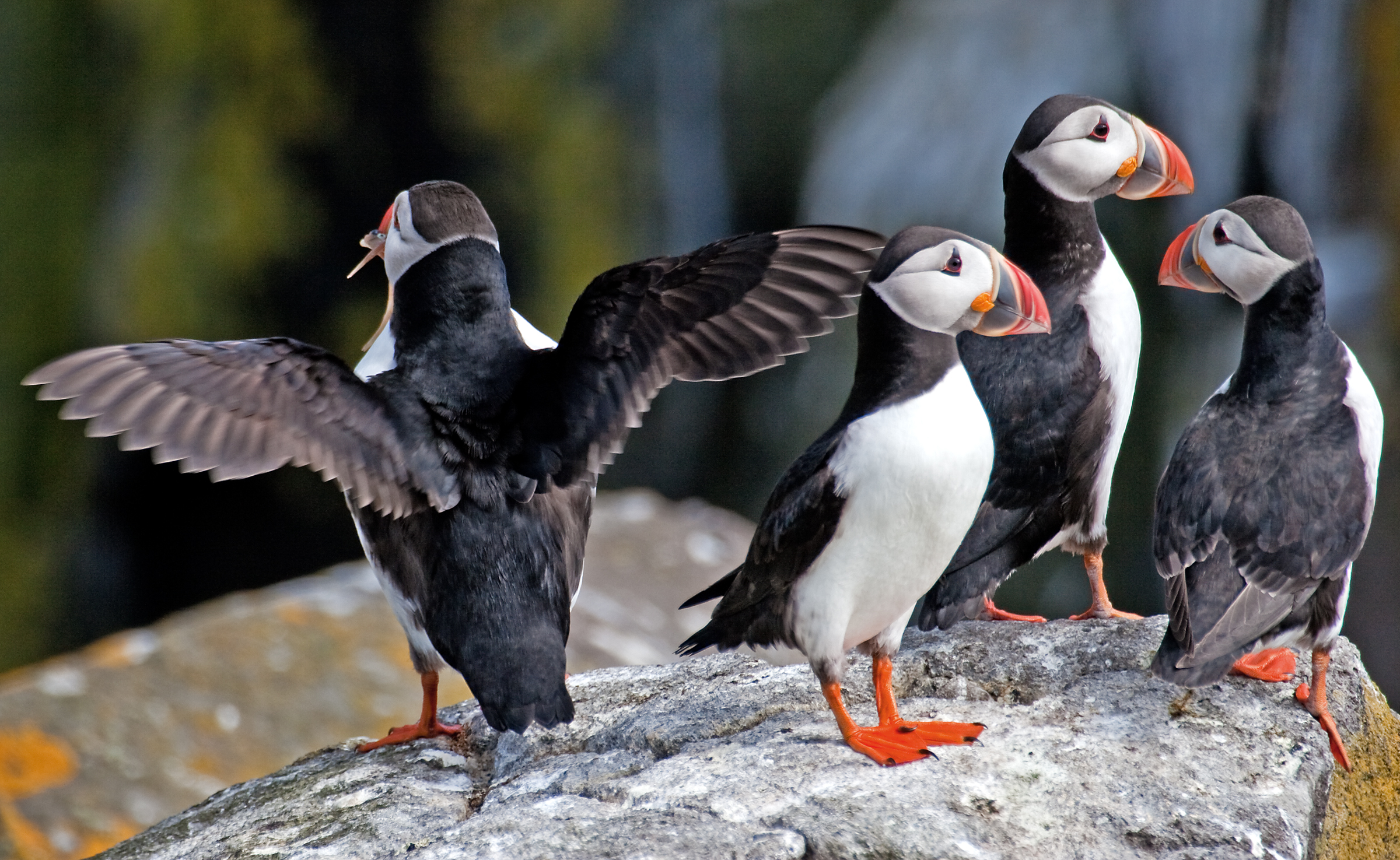 Puffins on Parade